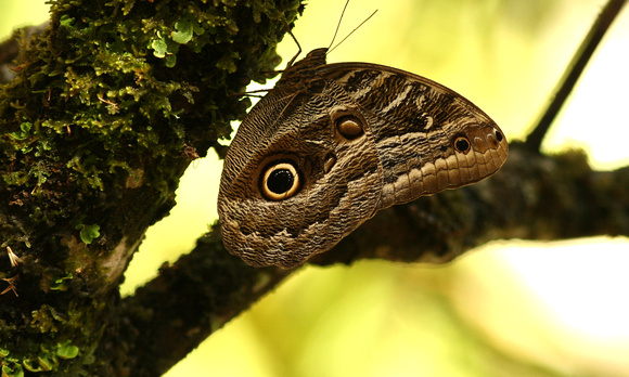 owl eyed butterfly